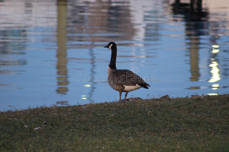 Goose standing guard on the bank. With a water background with the Marina reflection. New Bern NC royalty free stock photos