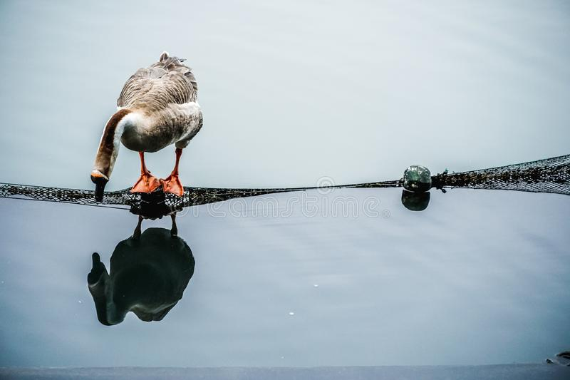 Goose standing on a Timber with mesh bulkhead, and then looked at himself reflecting on the shadows in the water.  royalty free stock photos