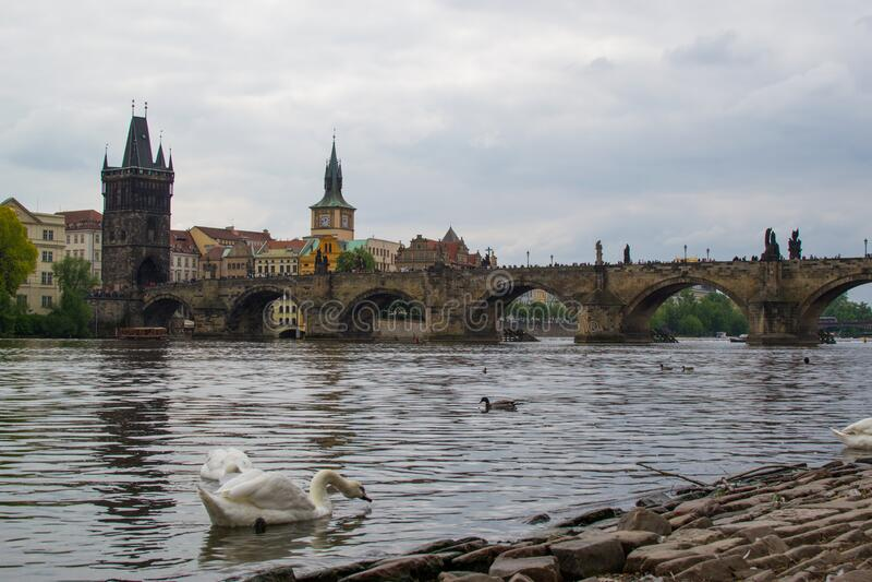 Goose sul fiume Vltava con Charles Bridge Karl?v most e Old Town Bridge Tower Starom?stská mostecká v fotografia stock