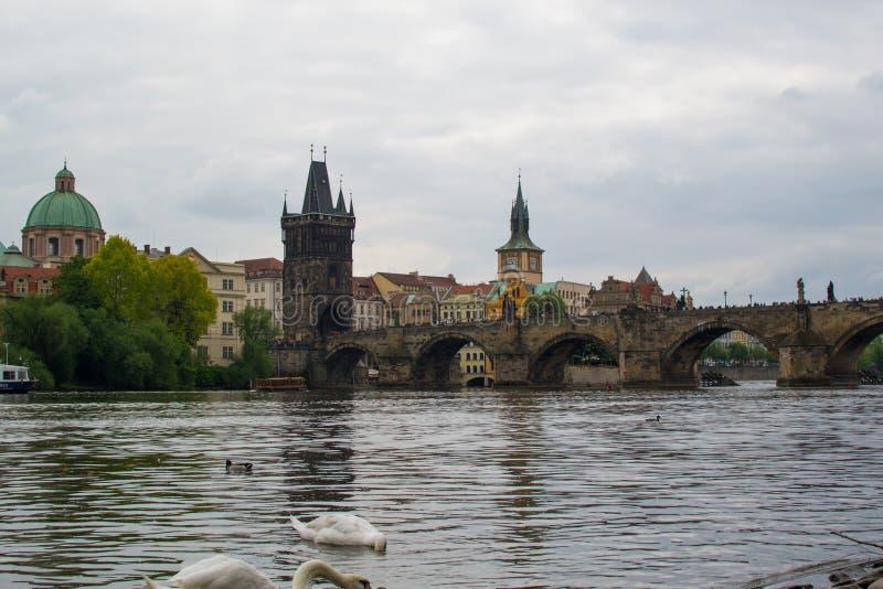 Goose sul fiume Vltava con Charles Bridge Karl?v most e Old Town Bridge Tower Starom?stská mostecká v immagini stock libere da diritti