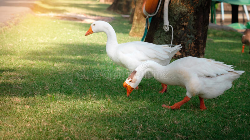 Goose. Two geese are pecking on food stock photo