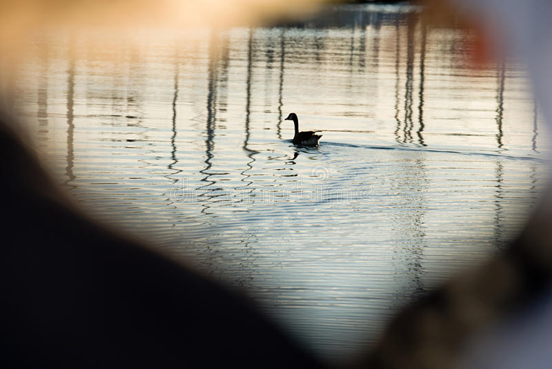 Goose on water stock images