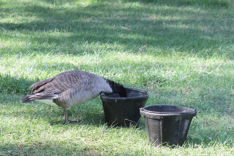 Goose in water bowl royalty free stock images