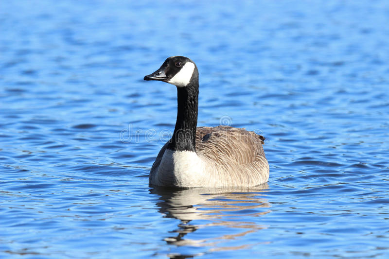 Goose on the Water royalty free stock photos