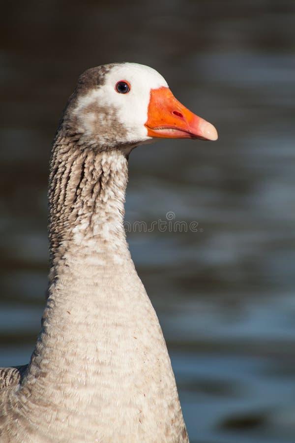 Goose royalty free stock photo