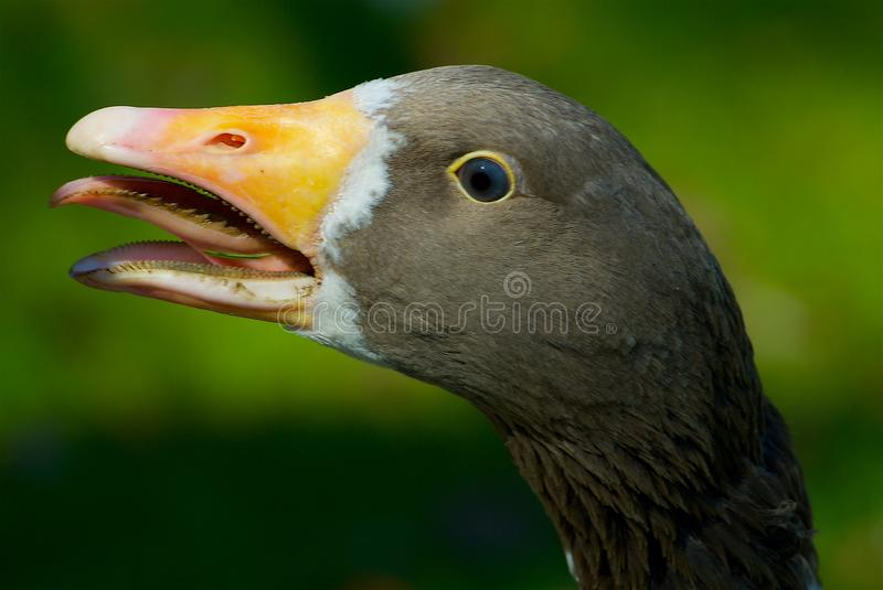 Greater white-fronted goose on the west coast in the summertime, Sweden stock images