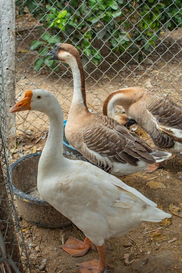 Goose, white and brown in a cage. royalty free stock images