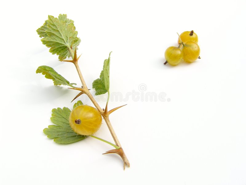 Download Gooseberries stock photo. Image of harvest, food, plant - 14058