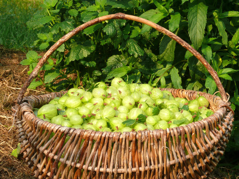 Download Gooseberries stock photo. Image of grapes, basket, farming - 14953708