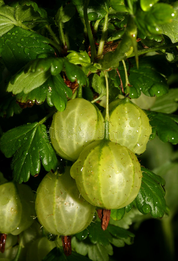 Gooseberries foto de stock
