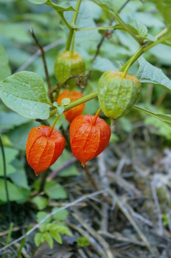 gooseberries foto de stock