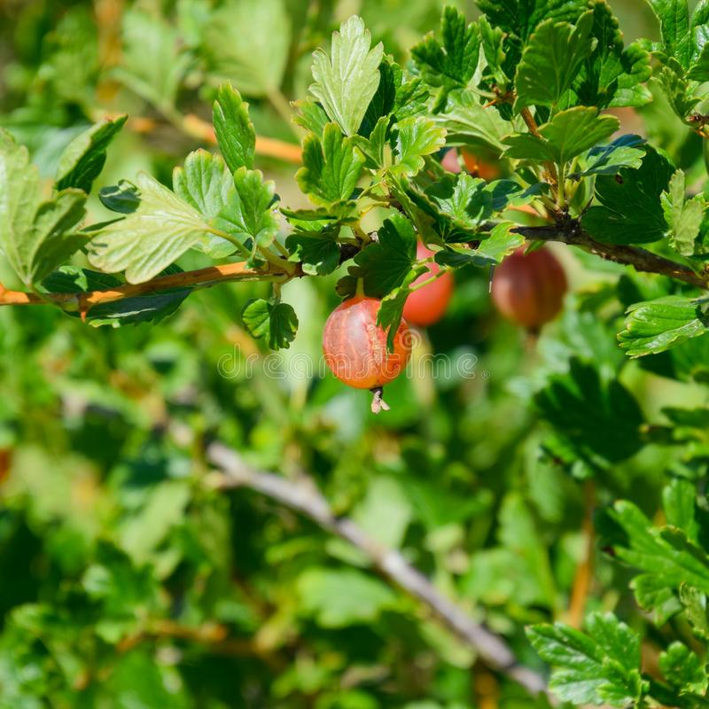 Gooseberries in the garden on a bed. Young leaves of. Gooseberry stock images