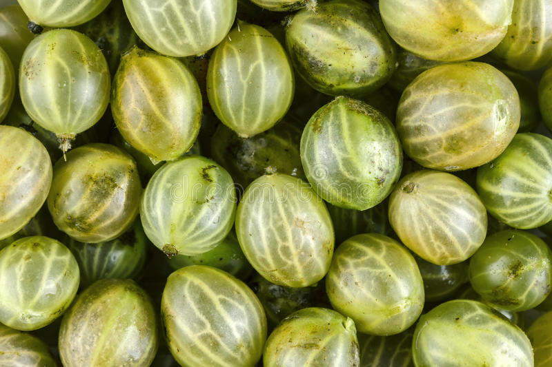 Gooseberries. Gooseberry fruits background close up stock images