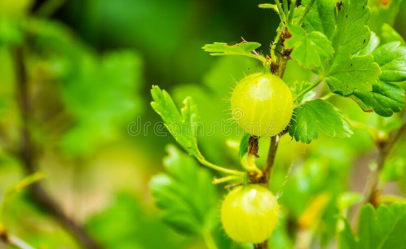 Gooseberries on a gooseberry plant in closeup, popular fruiting plant specie from Europe and Africa. Some gooseberries on a gooseberry plant in closeup, popular stock images