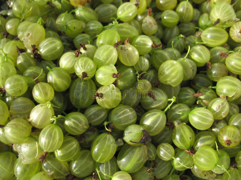 Gooseberries. There are green berries of gooseberrie. Macro royalty free stock photos