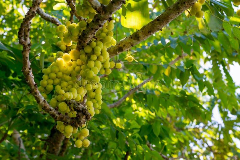 Gooseberry étoilé ou Phyllanthus acidus images stock