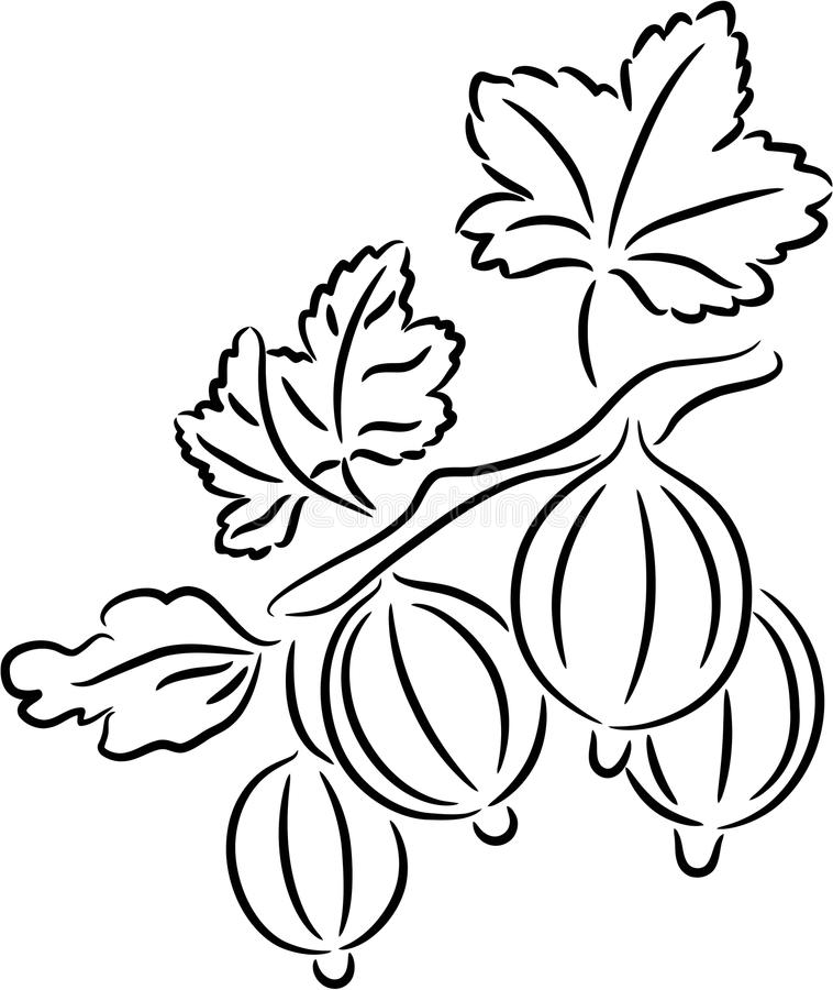 Download Gooseberry stock vector. Image of isolated, decorative - 10731858