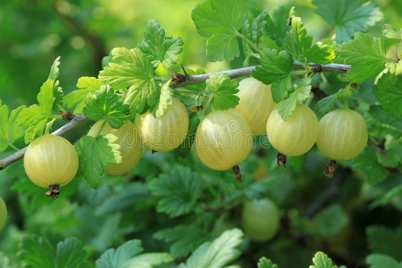 Gooseberry. (Ribes uva-crispa) - fruit bush. Nature in Poland royalty free stock photos