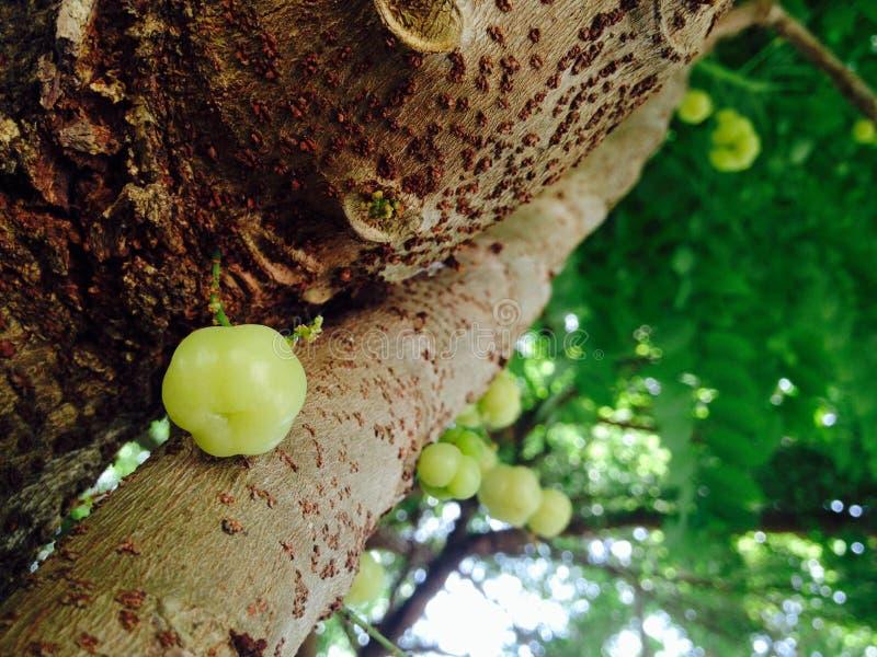 gooseberry foto de archivo