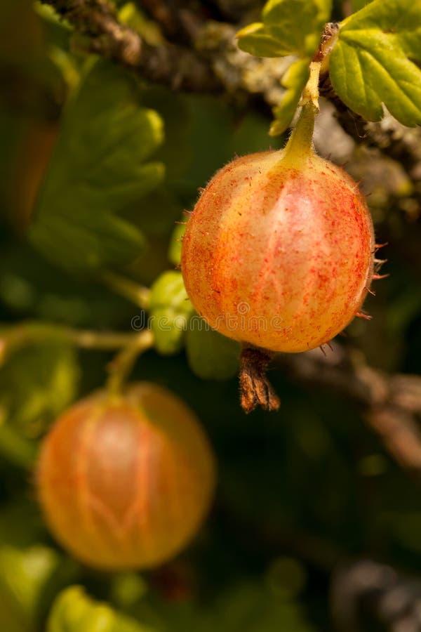 gooseberry fotos de stock