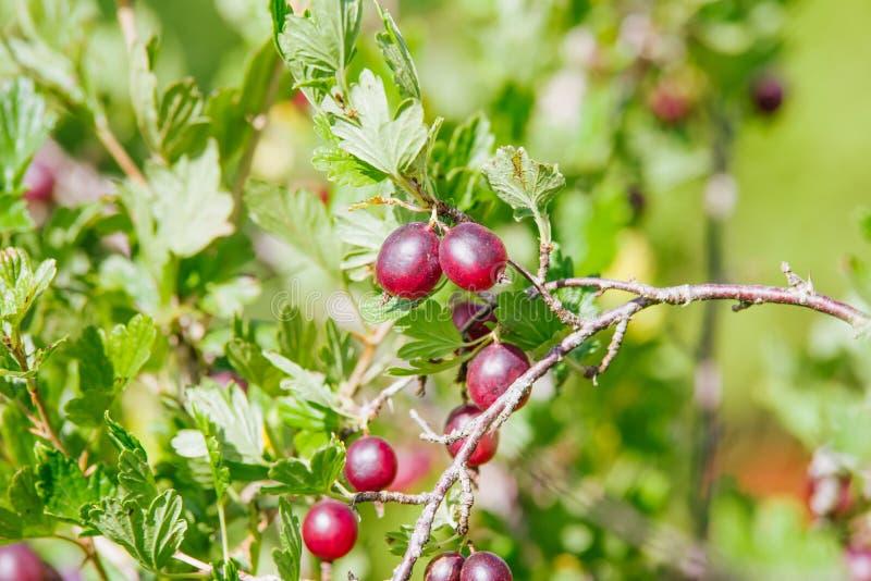 gooseberry fotografia stock