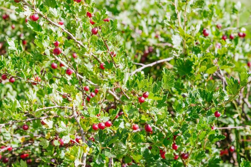 gooseberry fotografie stock