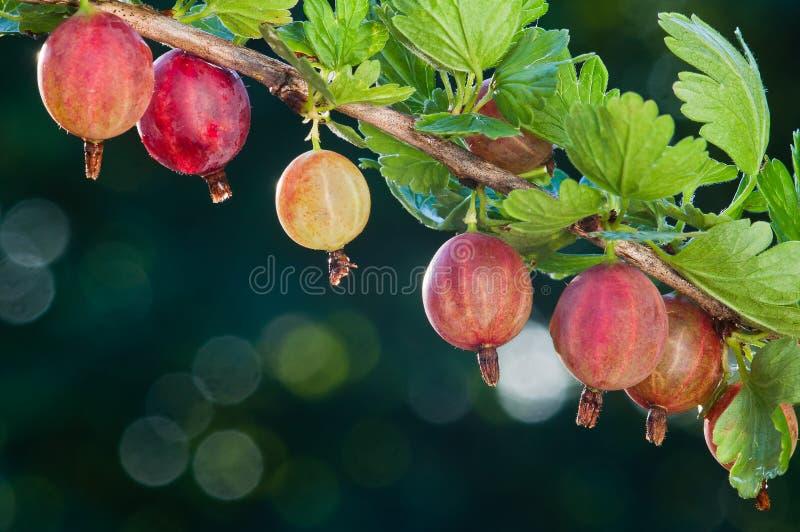 gooseberry As bagas orgânicas frescas das groselhas crescem no ramo fotos de stock