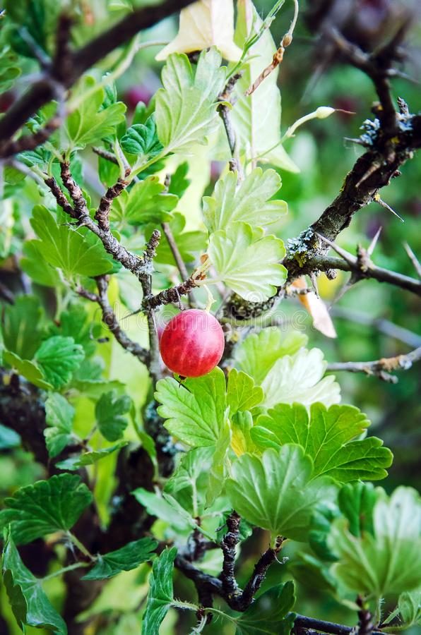 Gooseberry berry in the summer in the garden. Close-up stock image