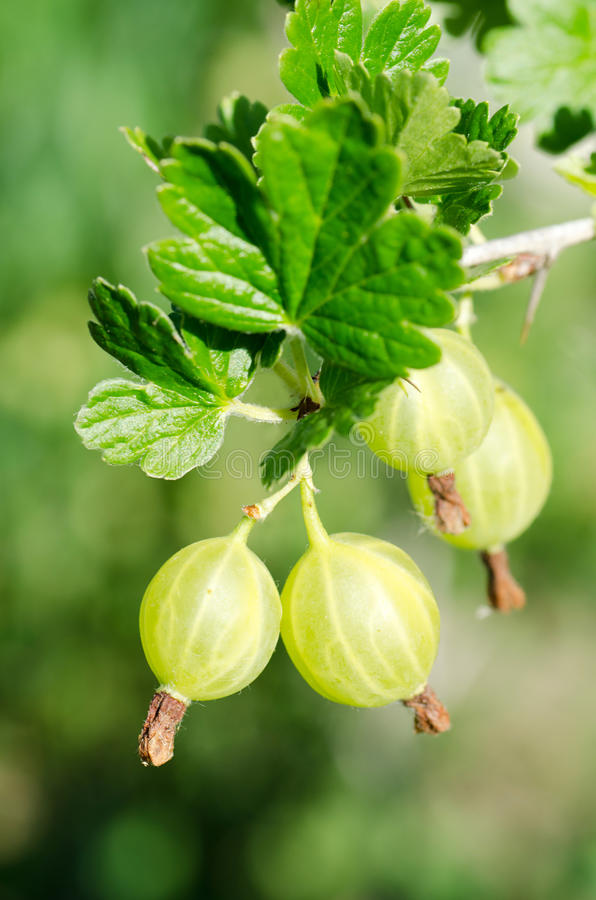 Download Gooseberry on a branch stock image. Image of fruit, harvesting - 20277945