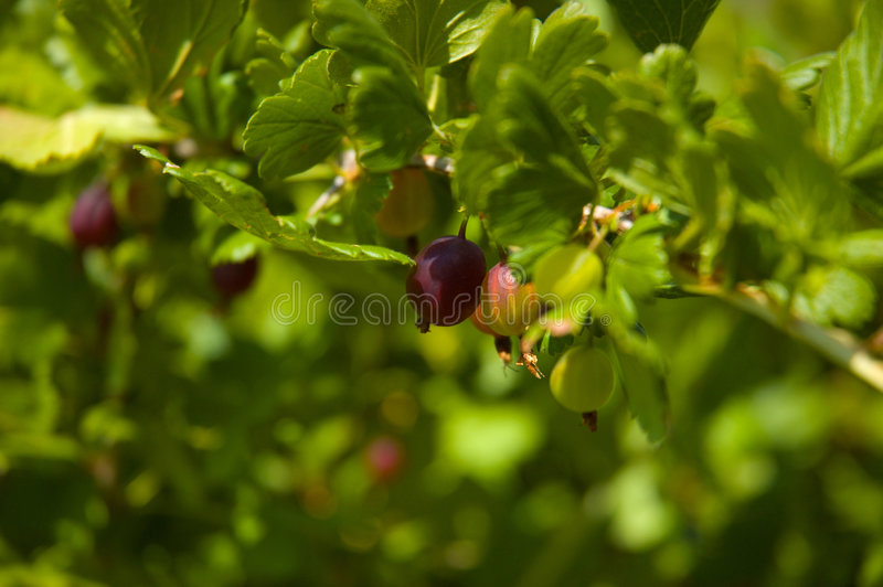 Gooseberry_bush foto de stock