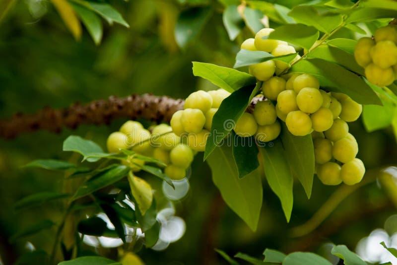 Gooseberry da estrela na árvore fotografia de stock royalty free