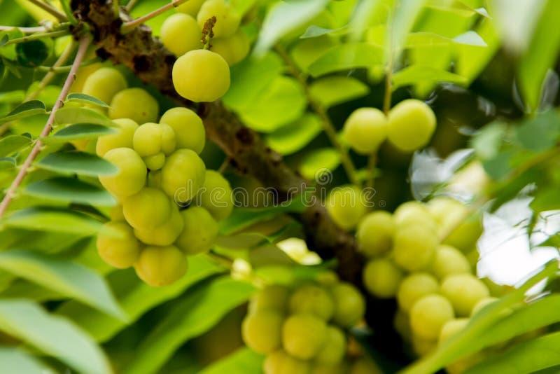 Gooseberry da estrela na árvore imagem de stock royalty free