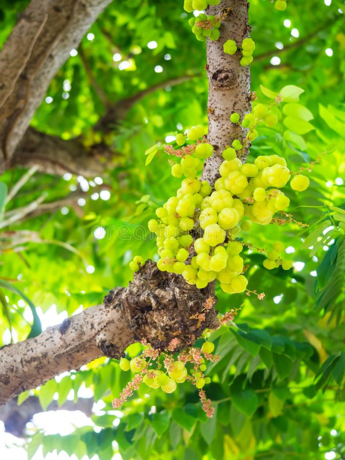 Gooseberry da estrela na ?rvore fruto e fruto vegatable de Tailândia, grupo foto de stock