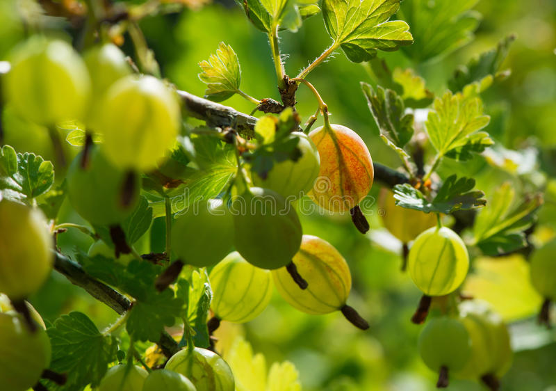 Gooseberry. An edible fruit, native to Europe, northwestern Africa, west, south and southeast Asia royalty free stock photography