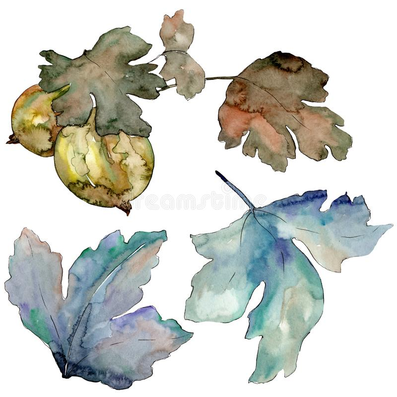 Gooseberry green leaves isolated. Watercolor background illustration set. Isolated berry illustration element. Gooseberry green leaves isolated. Watercolor royalty free illustration