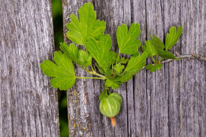 gooseberry Groseille à maquereau verte image stock