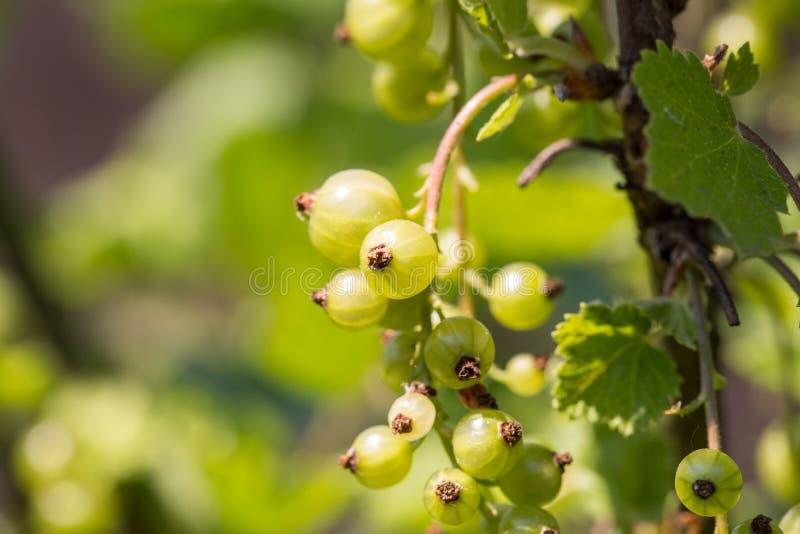 gooseberry Groseilles à maquereau organiques fraîches et mûres photographie stock libre de droits