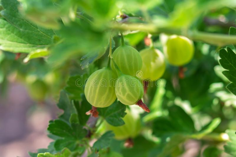gooseberry Groseilles ? maquereau organiques fra?ches et m?res s'?levant dans le jardin Groseilles ? maquereau vertes fra?ches m? image stock