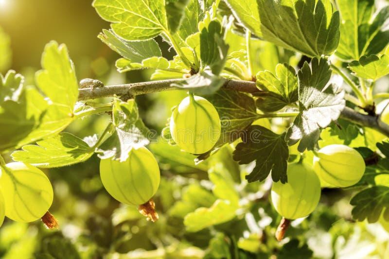 gooseberry Groselhas org?nicas frescas e maduras que crescem no jardim fotos de stock
