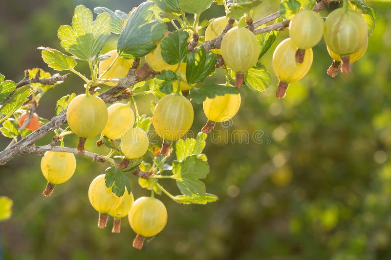 Gooseberry. Grows ripe gooseberries on a branch royalty free stock photo