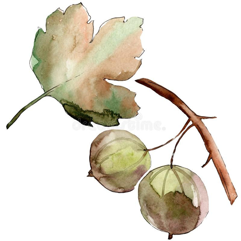Gooseberry healthy food in a watercolor style isolated. Watercolour background set. Isolated berry illustration element. Gooseberry healthy food in a watercolor vector illustration
