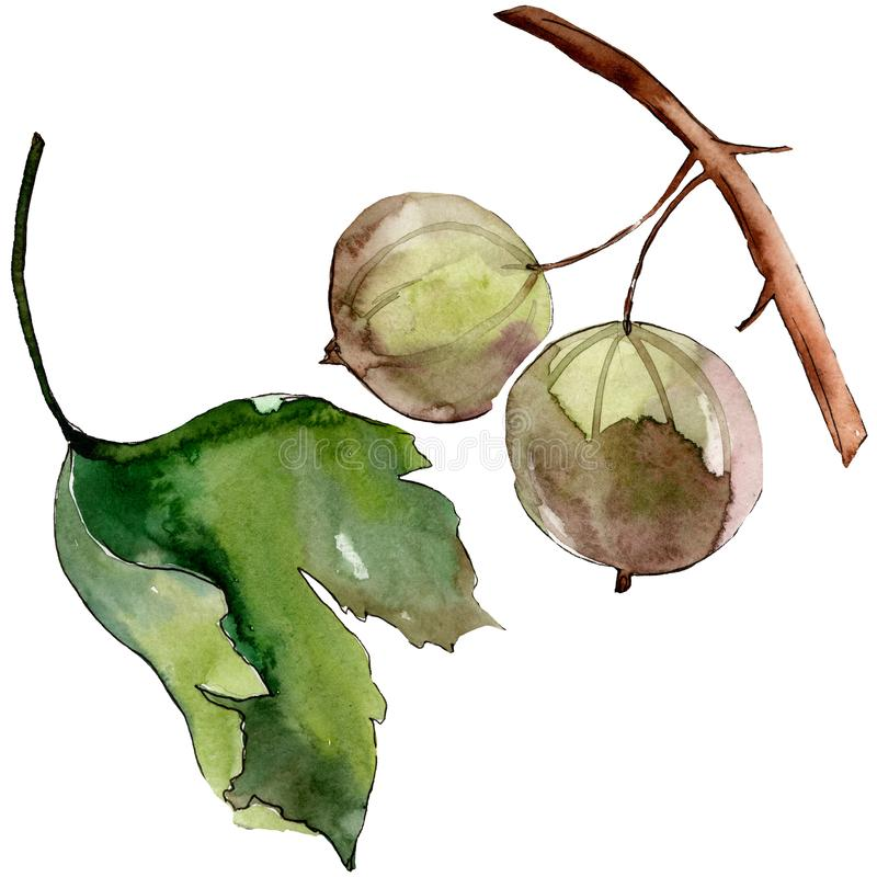 Gooseberry healthy food in a watercolor style isolated. Watercolour background set. Isolated berry illustration element. Gooseberry healthy food in a watercolor royalty free illustration