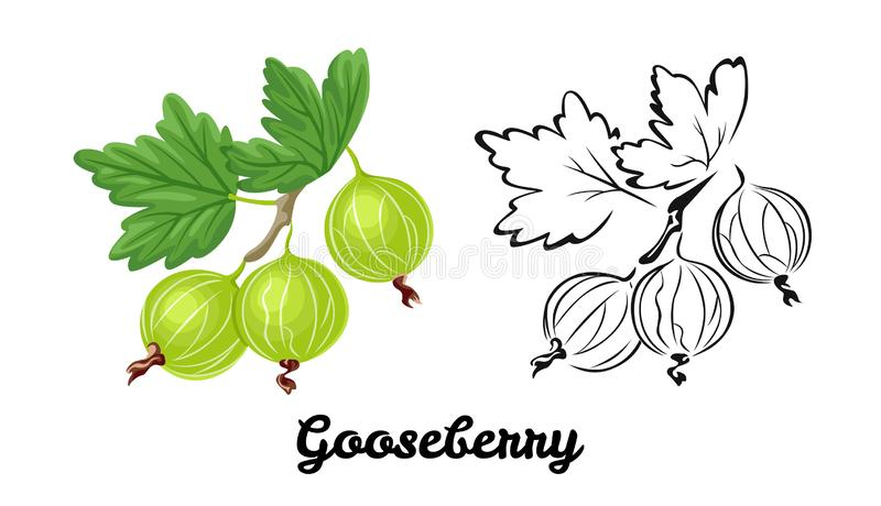 Gooseberry icon set. Color illustration of green ripe berry and black and white contour image. vector illustration