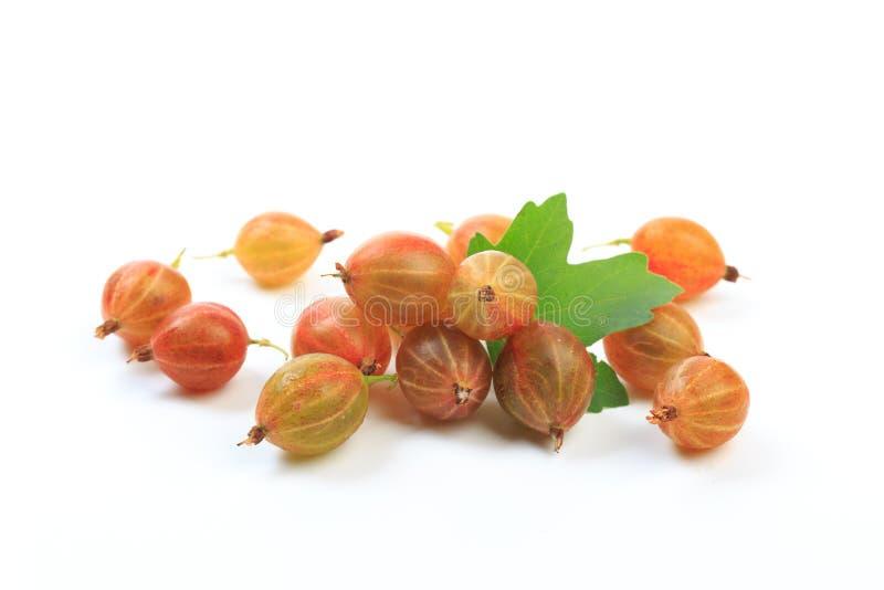 Gooseberry isolated  on white background - Image stock photos