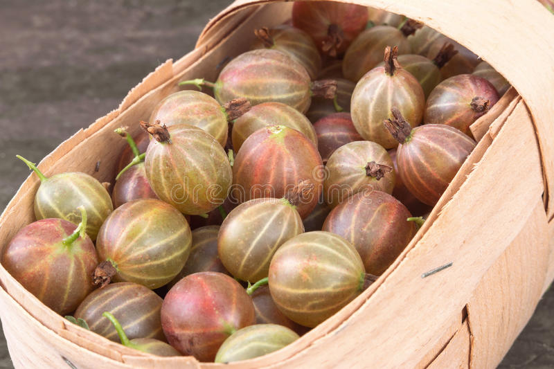 Gooseberry. Ripe gooseberries in a basket royalty free stock photo