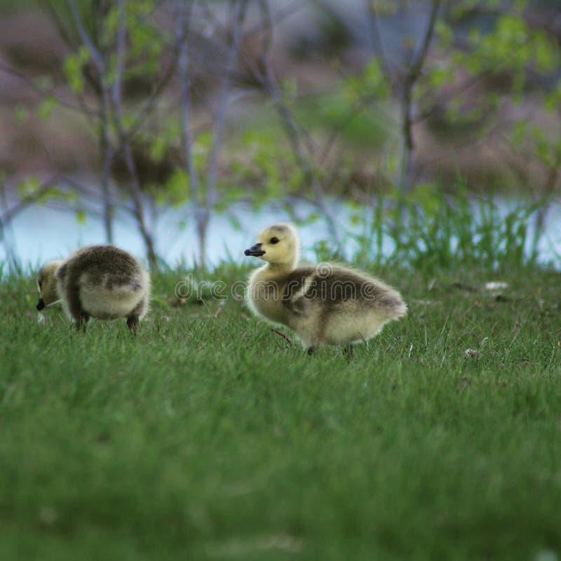 Gooselings 库存照片
