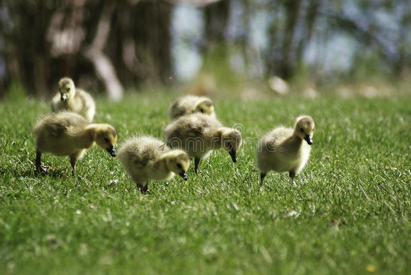 Gooselings 免版税图库摄影