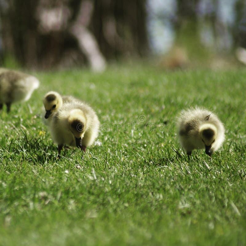 Gooselings 库存图片