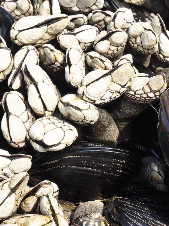 Gooseneck λαβίδες και μύδια στοκ φωτογραφία με δικαίωμα ελεύθερης χρήσης