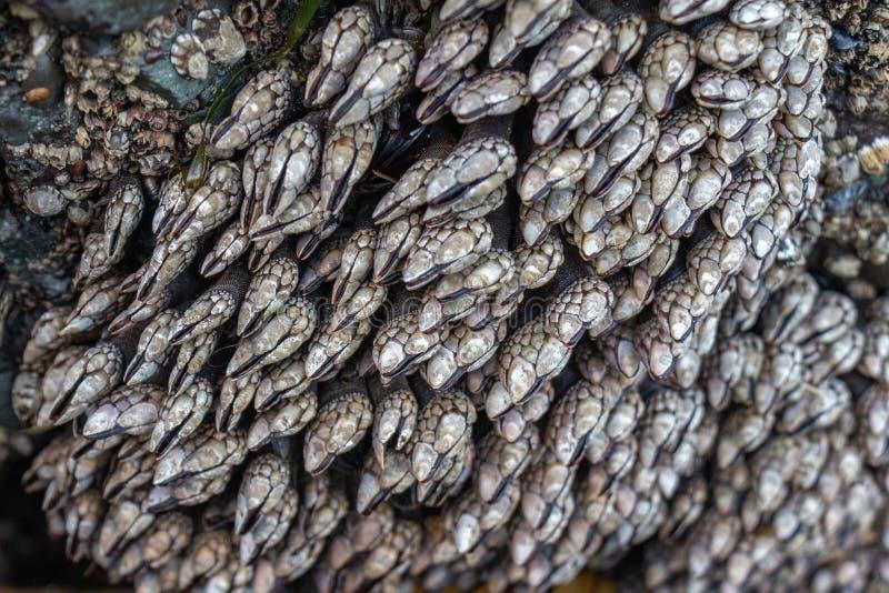 Gooseneck pąkle wystawiać w czasie odpływu morza obraz royalty free